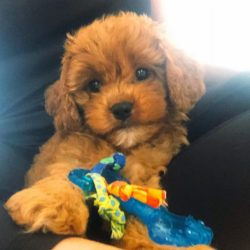 clarencethecavapoo_617870458706_n