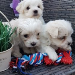 for-beautiful-maltichon-puppies-5bad176c8c142