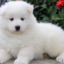 samoyed-puppy-picture-6688705f-6d61-42e6-b14c-d8ff3905fd3f