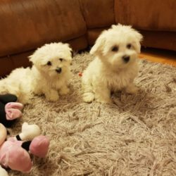 puppis-maltese-for-sale-5ce3a80e8a6f2