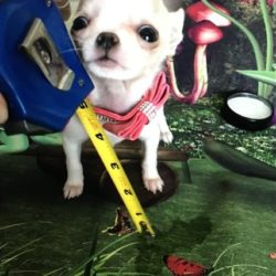 chihuahua-puppy-picture-1ce5d6c5-9166-48fa-ace8-4ce7bf6613a1