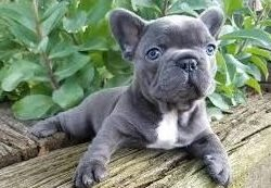 french-bulldog-puppy-picture-2b3cd738-87e5-4801-aad9-242befab4152