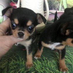 chihuahua-puppy-picture-2d7db144-17e1-4207-9d46-fd6c6431002b
